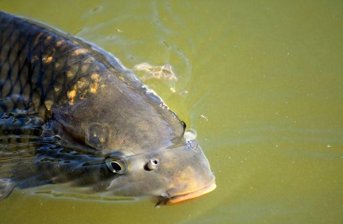 U ribnjacima višak ribe zbog smanjene prodaje tokom posta i slava