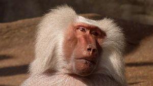 Uhvaćen pavijan u Kejptaunu - provalnik i višestruki prestupnik