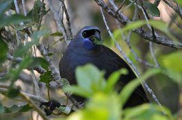 Ptica pevačica sa Novog Zelanda spasena od izumiranja nakon dve decenije napora