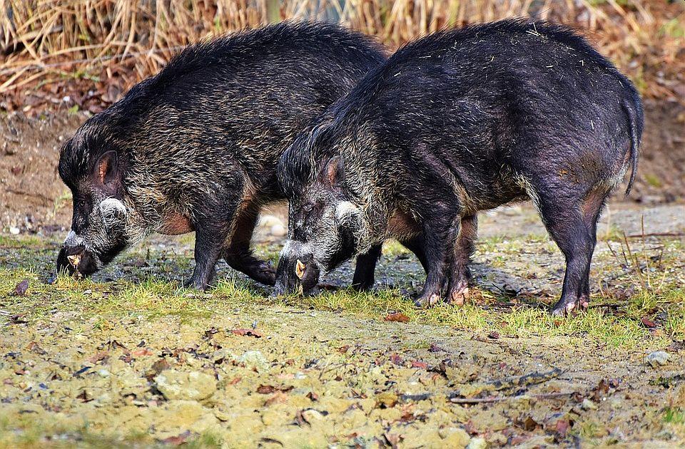 Afrička kuga otkrivena kod divljih svinja u četiri lovišta u Srbiji
