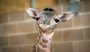 Jedina bela žirafa na svetu opremljena GPS uređajem kako bi bila zaštićena