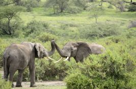 Krdo slonova biće avionom prebačeno iz Engleske u Keniju