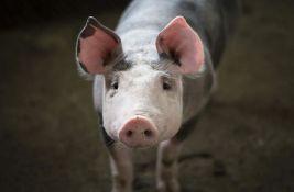 Uprava za veterinu: Meso zaraženih svinja nije dospelo u prodavnice