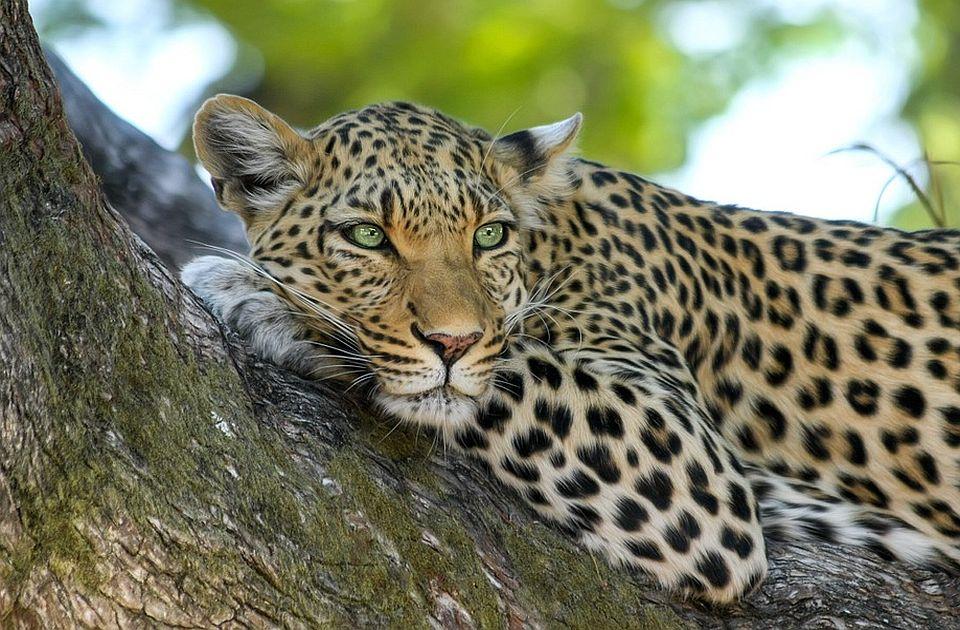 Jedan od tri odbegla leoparda iz zoo vrta još na slobodi, park krio da su životinje pobegle