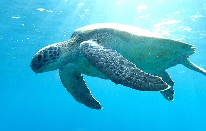 Zelena morska kornjača guta najlon kese jer joj liče na morsku travu