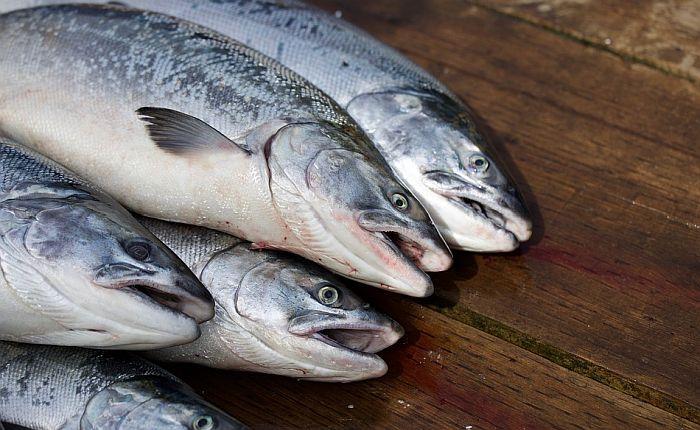 VIDEO: Na Aljasci pomor lososa, zbog visokih temperatura doživeli srčani udar