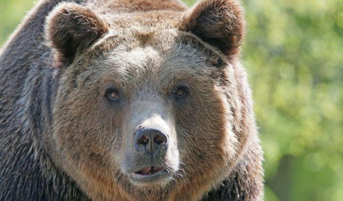 Medvedica nasrnula na lovca