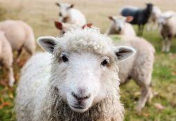 Ovčarstvo u Srbiji u usponu, ukupan broj goveda opada