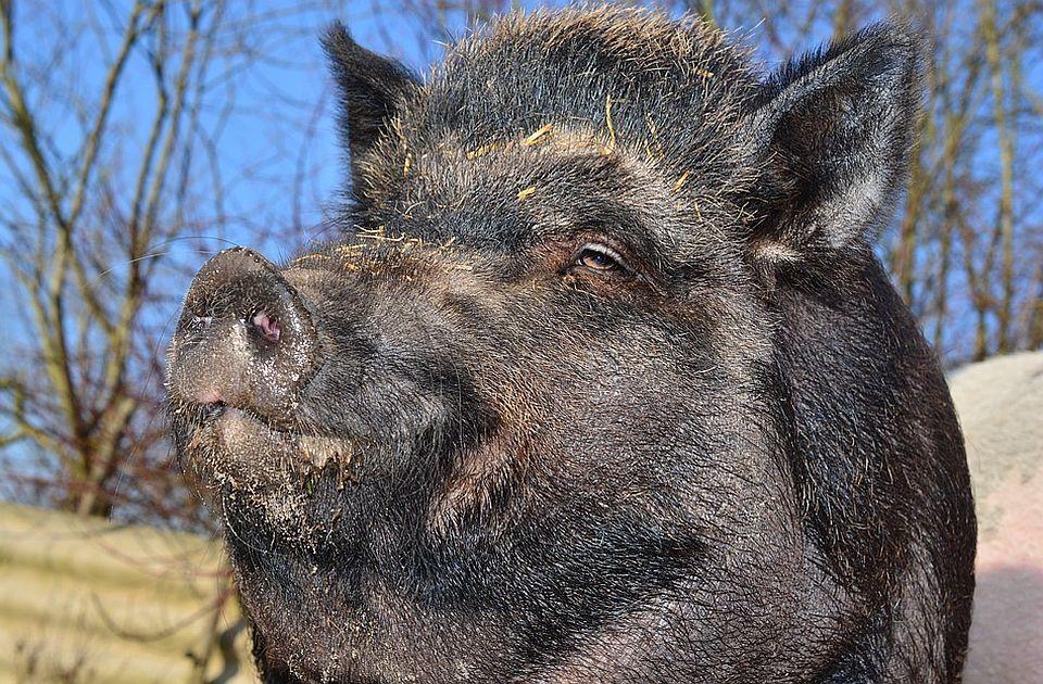 Afrička kuga kod divlje svinje u Banatu