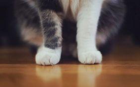 Zbog čega većina domaćih mačaka ima bele šape