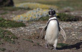 Sve više ženki pingvina ugine u morima Južne Amerike