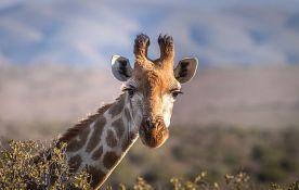VIDEO: Snimljen neobičan način na koji žirafa pase travu