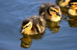 Počeo zimski popis ptica vodenih staništa u Srbiji