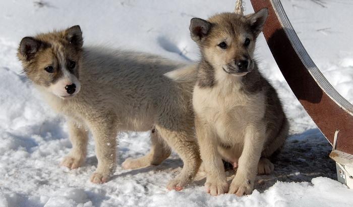 I psi su ugroženi na Grenlandu