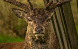 Devet jelena uginulo u parku u Japanu, stomaci im bili puni najlon kesa