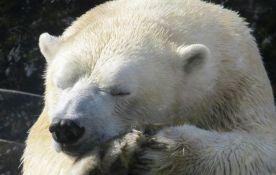 Ubijeno je 50.000 polarnih medveda, opstanak vrste ugrožen