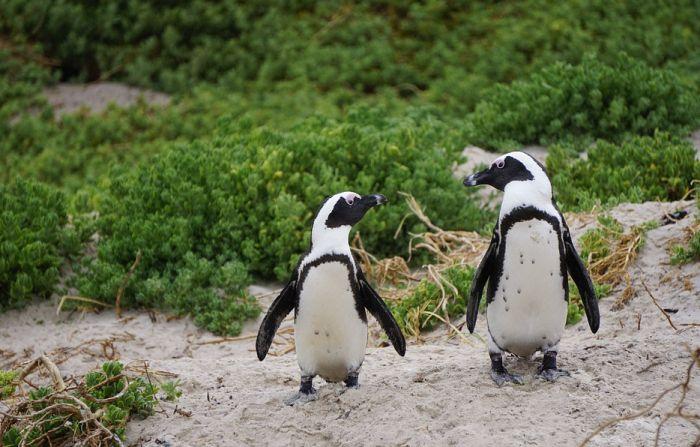 Istraživanje pokazalo: Pingvini komuniciraju na sličan način kao i ljudi