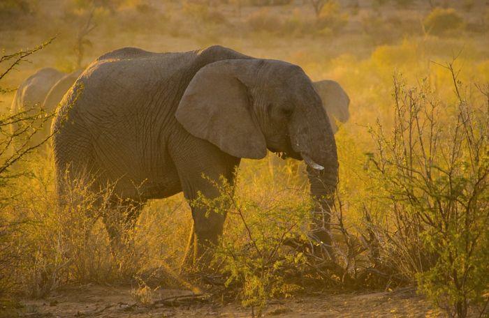 Bocvana prodala pravo na odstrel za 43.000 dolara po slonu