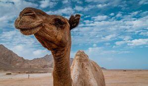 Uhapšen jer je ukrao mladunče kamile da bi ga poklonio devojci za rođendan