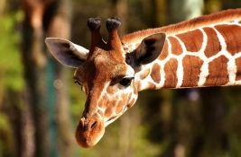 U Keniji raste broj žirafa, slonova i lavova