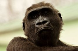 Velikim majmunima u Africi preti