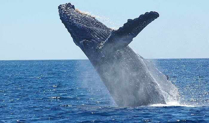 VIDEO: Grbavi kitovi se okupljaju na