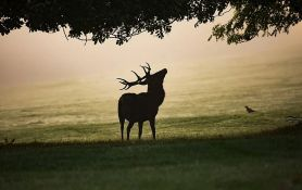 Lovcu u Kupusini jelen preoteo pušku i utekao