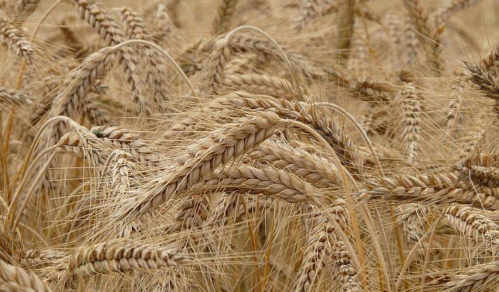 Zbog kiše do sada posejano tek oko deset odsto pšenice
