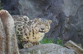 Nevakcinisani leopard zaražen kovidom u zoo-vrtu u San Dijegu
