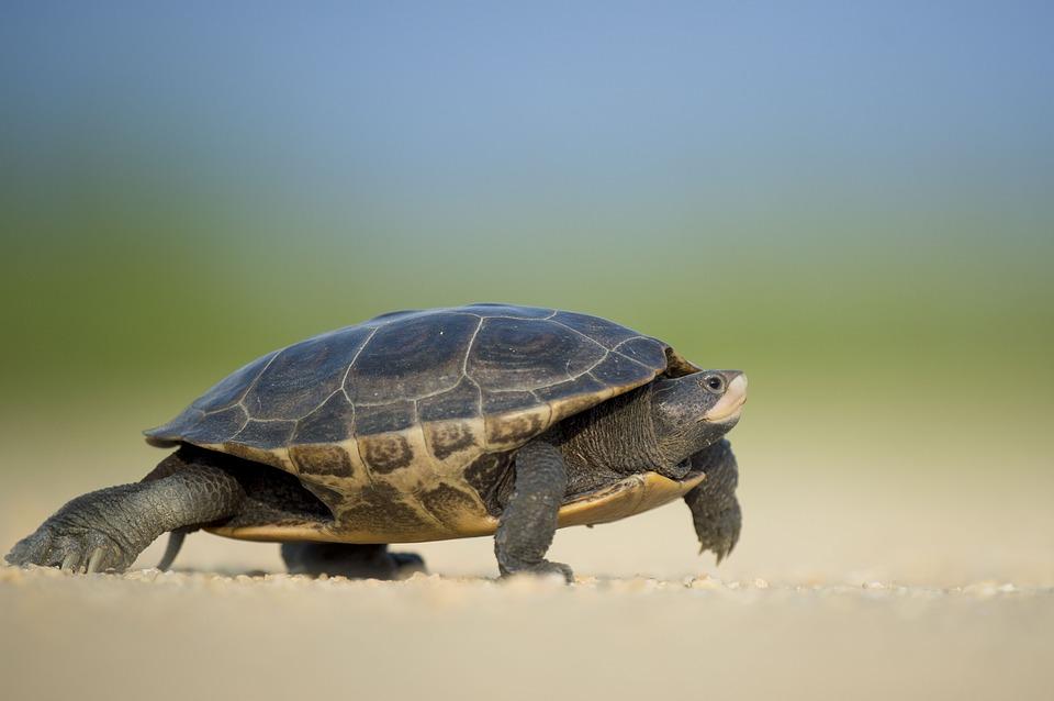 Uginula retka vrsta kornjače