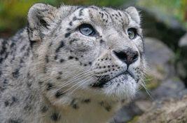 VIDEO: Objavljen redak snimak najneuhvatljivije divlje mačke na svetu