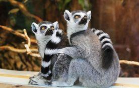 Lemuri ugroženi zbog manje turista na Madagaskaru