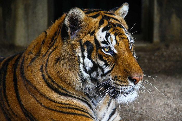 Indonežanski zoo vrt žrtvuje neke životinje da bi nahranio druge