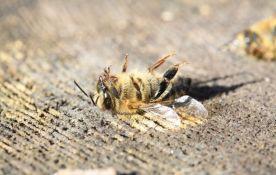 Trovanje pčela u Banatu godinama redovna pojava, trovači prolaze nekažnjeno