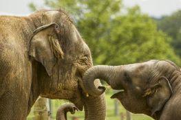 Istraživanje pokazalo: Slonovi zevaju kada vide svoje omiljene čuvare da to rade