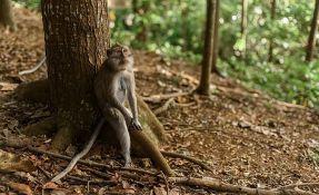 Vrsta majmuna koja izumire otkrivena u Mjanmaru