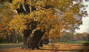 Francuska traži dva veka stare hrastove za obnovu Notr Dama