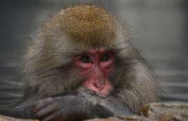 Ugradio ljudske gene u mozak majmuna, tvrdi da su postali pametniji