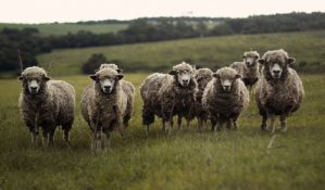 VIDEO: Neko sa razglasa na Podbari pušta blejanje ovaca