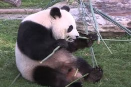 FOTO, VIDEO: Džinovska panda Huan Huan dobila blizance