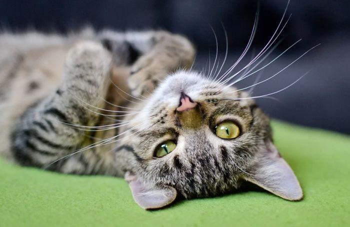 Tri mačke i pas u Holandiji pozitivni na virus korona