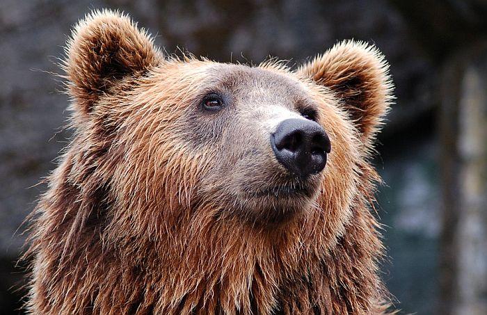 Rus medveda ujeo za jezik