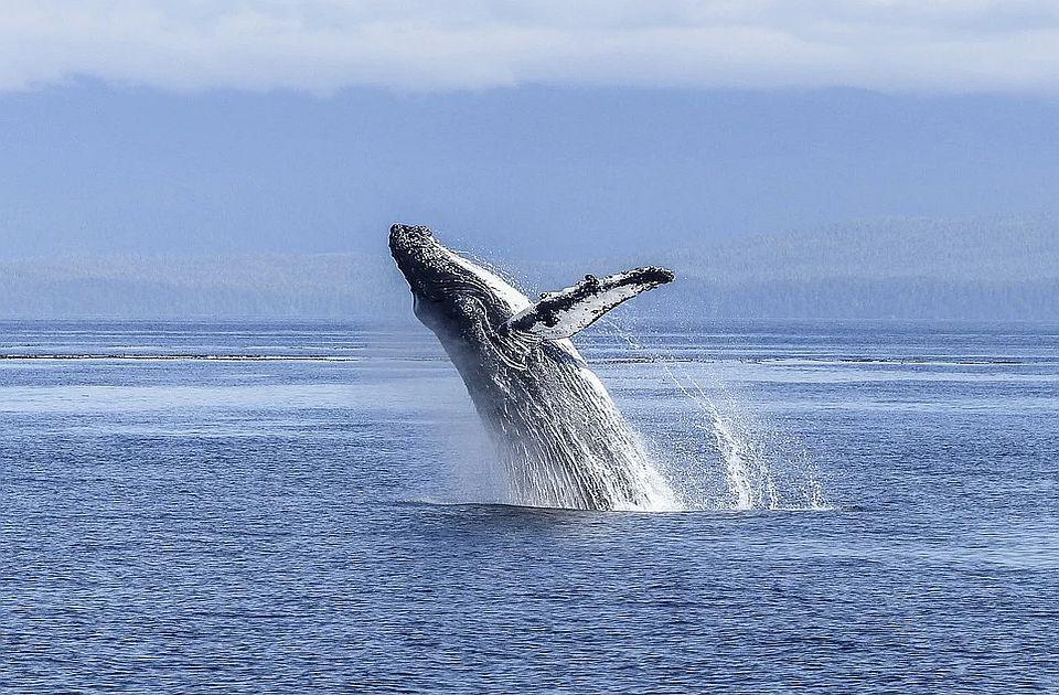 Grbavi kit progutao lovca na jastoge pa ga ispljunuo