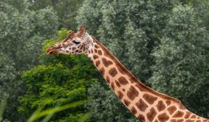 Broj žirafa se smanjio za 40 odsto