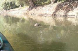 UZNEMIRUJUĆI VIDEO, FOTO: Mrtav dabar pluta Dunavom, upleten u mrežu krivolovaca
