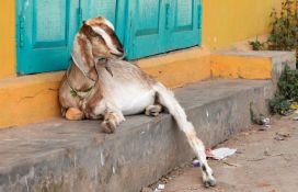 Koze pametnije nego što se mislilo, više vole ljude koji se smeju