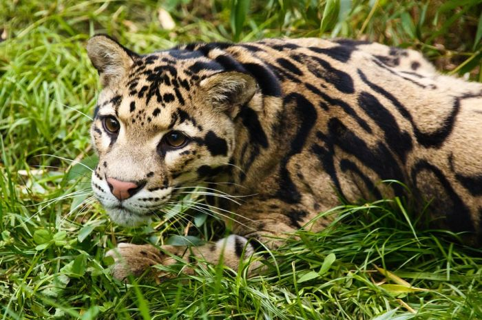 Ponovo primećena vrsta leoparda za koju se verovalo da je izumrla