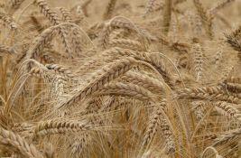 Nedimović: Skupe žitarice poskupljuju proizvodnju mesa i mleka