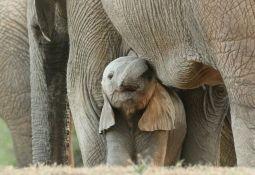Izgubili turiste zbog korone, sad ih privlače ubijanjem slonova