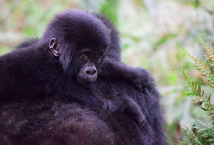 Gorile u zoo vrtu u San Dijegu imaju koronu, zarazile se od radnika